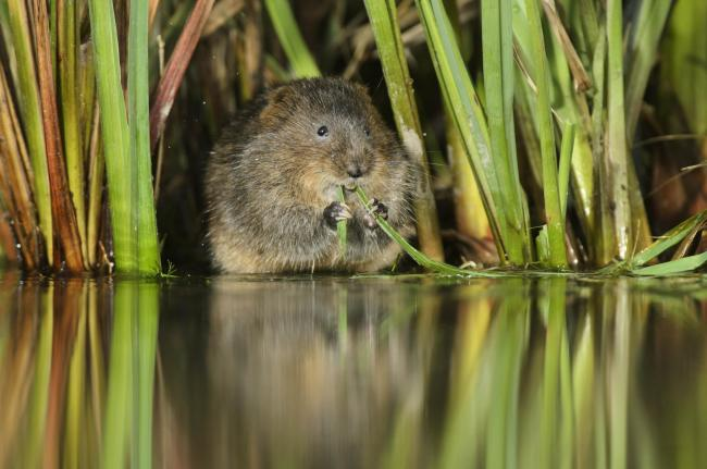 Water vole at work in the reeds