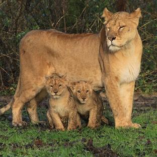 Longleat Safari Park has destroyed five of its lions because they had serious genetic defects
