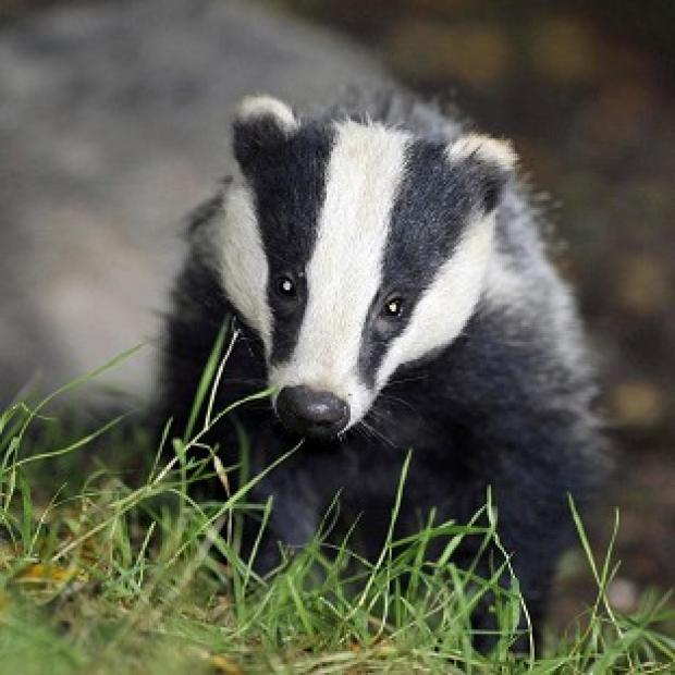 Witney Gazette: Pilot badger culls in Somerset and Gloucestershire caused suffering to the animals, an expert panel has found