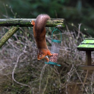 A Red Squirrel tries to take some nuts from a bird feeder in Kielder Forest, Northumberland