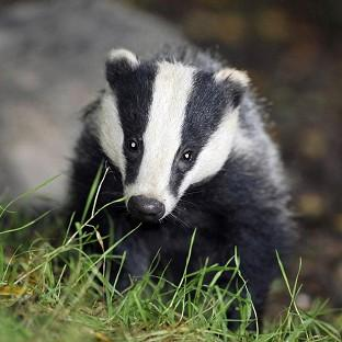 Pilot culls were due to run for six weeks, with the aim of killing 70% of badgers in each area