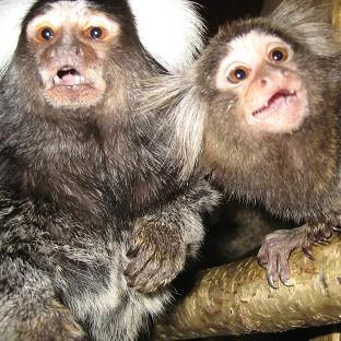 Marmosets have been used to test ways to reduce the side effects of drug treatment for Parkinson's