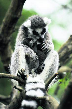 Ma the lemur with her babies at the Cotswold Wildlife Park. Picture: OX67482 Mark Hemsworth
