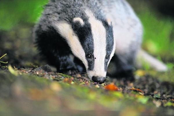 A programme to vaccinate badgers to create a buffer zone against the disease is planned