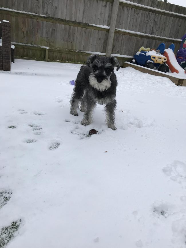 Here's a picture of 8 month old, Albie the miniature schnauzer digging his toys under the snow, being cheeky!