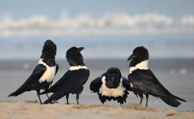 A gathering of Pied crows bowing to each other by Tony Steele