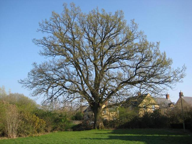 The oak tree on Waterford Road, Madley Park, Witney. Picture: Gaynor Langton